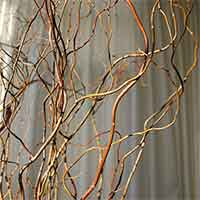 Curly Willow Branches - Green - Fresh
