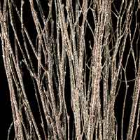 White Sparkle Birch Branches
