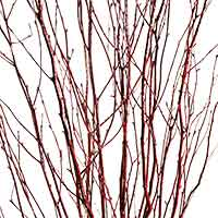 Red Birch Branches
