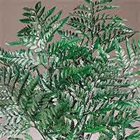 Preserved Leatherleaf Ferns