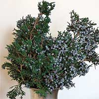 Preserved Juniper Boughs