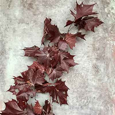 Preserved Sycamore Branches - Red