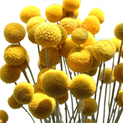 25 Bundles, Craspedia Billy Balls - Yellow Ball Flowers