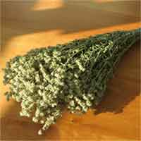 Dried Mountain Mint