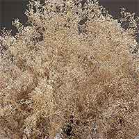 Dried Baby's Breath - Gypsophila - Champagne Sparkle