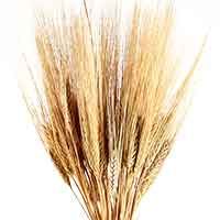 Golden Wheat Bunches