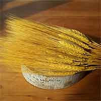 Triticum Wheat Bundles Yellow