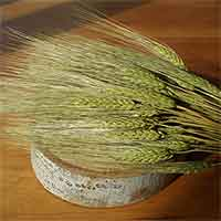 Triticum Wheat Bundles Green