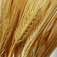 Dried Barley Stalks - Golden
