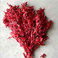 Preserved Oak Leaves, Red, 12 Pounds