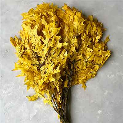 Preserved Oak Leaves, Yellow, 12 Pounds