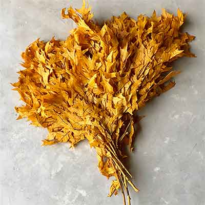 Preserved Oak Leaves, Mango, 12 Pounds