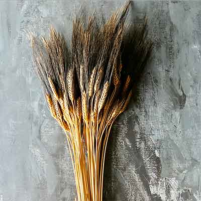 Blackbeard Wheat Stalks, 20 Bundles