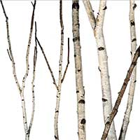birch branches, birch forks