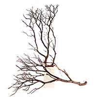 "Manzanita Branches, Natural, 10"" up to 96"""