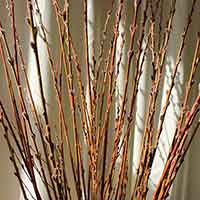 Prairie Willow Branches