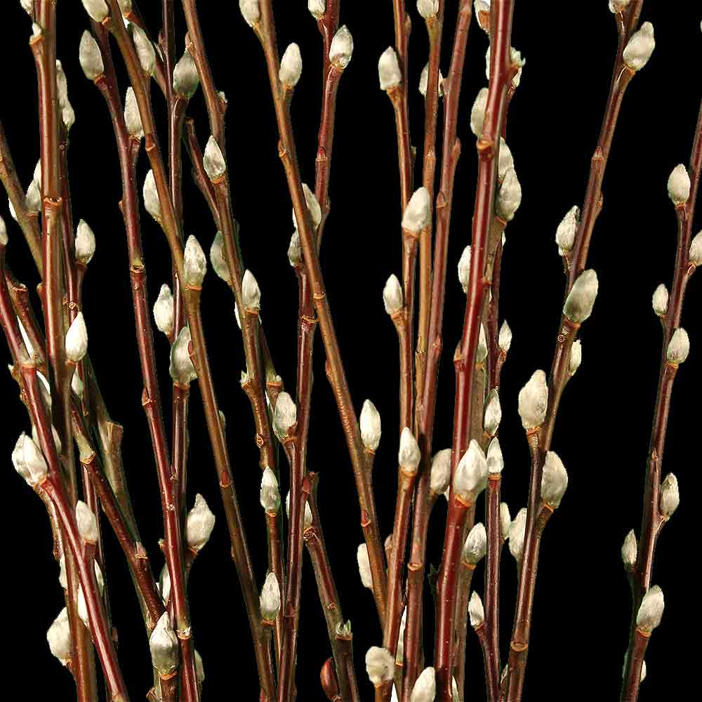 Pussy Willow Branches Decorative Branches