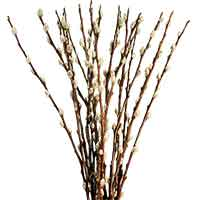 Pussy Willow Tips, 20-24""
