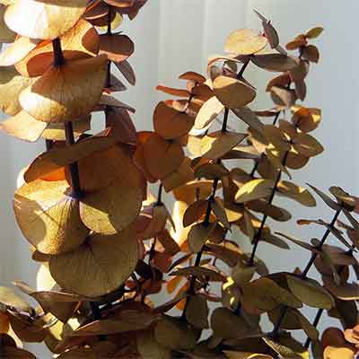 Autumn Gold Preserved Spiral Eucalyptus Branches