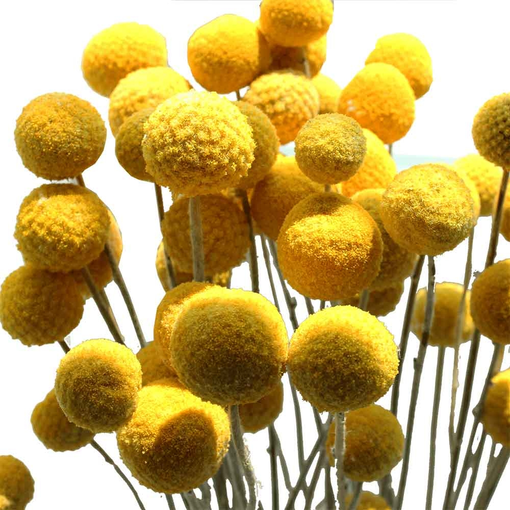 Craspedia billy balls billy buttons yellow ball flowers craspedia billy balls yellow ball flowers mightylinksfo