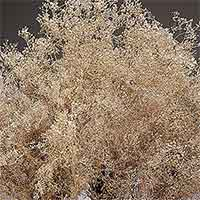 Baby's Breath (Gypsophila), Champagne Sparkle, 12 Bundles (Shipping Included)